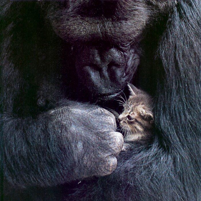 Animal Medical of New City Treats Koko the Gorilla
