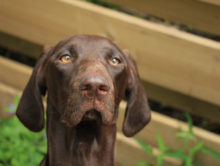 61012298 - german shorthaired pointer female, 11 months old