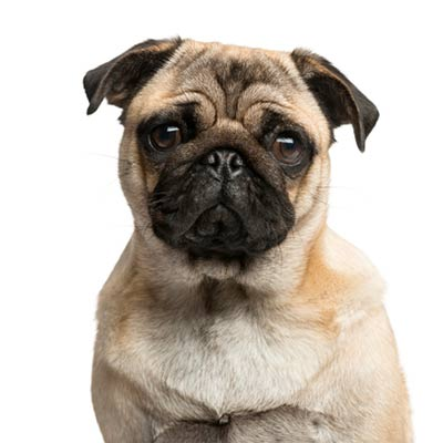 amnc pug for web