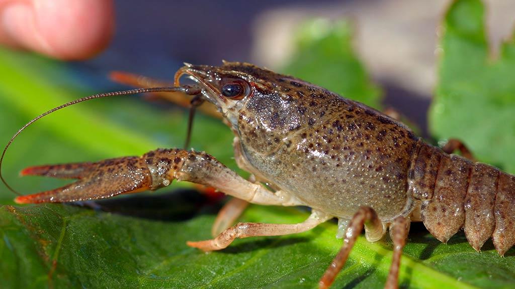 Clone Mutant Crawfish Escapes Into The Wild