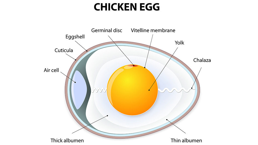 Can I Get Salmonella From My Chickens? | Animal Medical New City