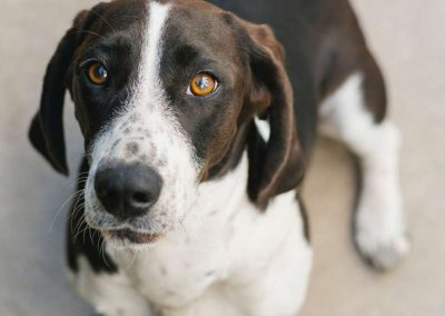 Spaying And Neutering In Dogs