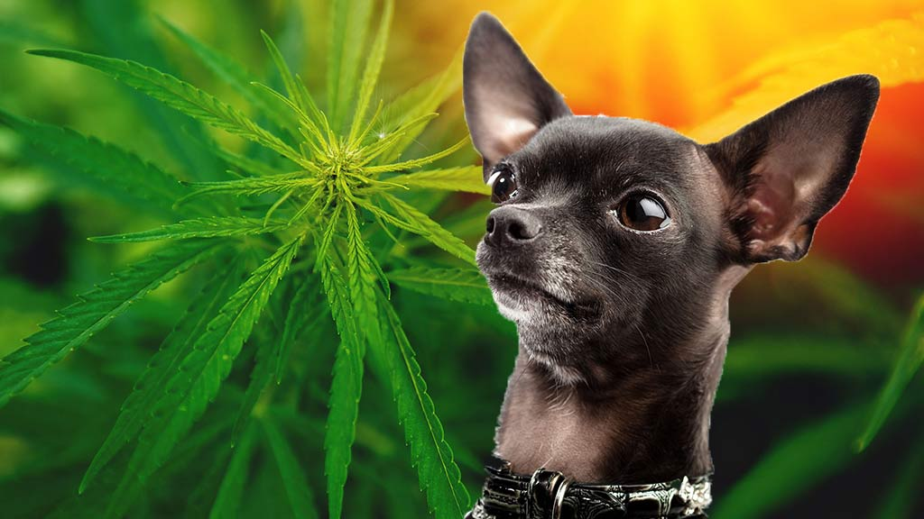 Is It Cool To Get My Dog High?